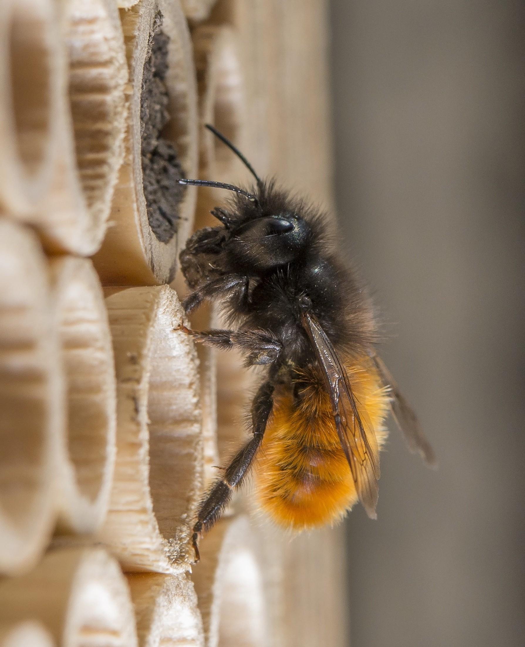 ABEILLE-BEEHOME-3 pollinature s bordeaux