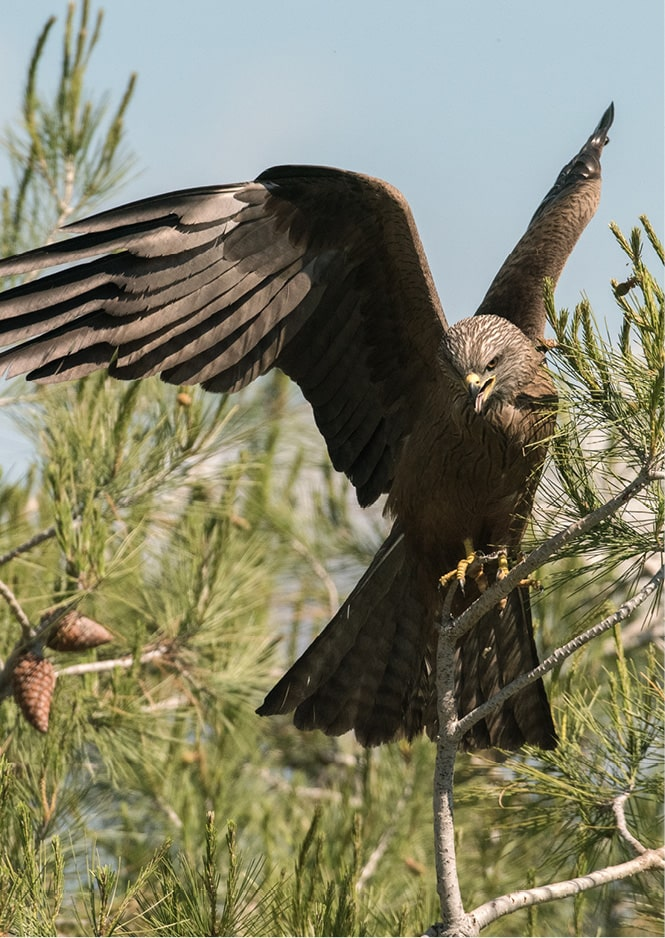 Aigle dans la nature dans le clôt de la marque S BORDEAUX