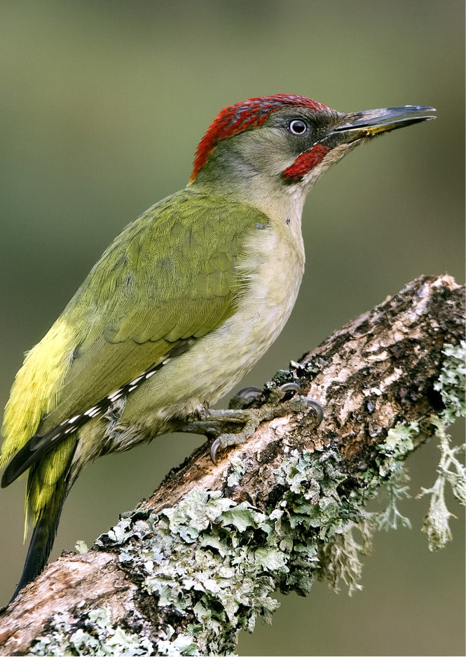 Oiseau pic-vert dans la nature dans le clôt de la marque S BORDEAUX